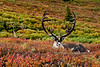 A unique pair of really large mature caribou bulls, one still with unblemished velvet, the other completely cleaned off. Alaska Range, Alaska. #821.178. 2x3 ratio format.