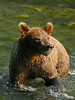 BBR-2006.8.1b.A small Brown bear fishing for salmon. Russian River, Kenai peninsula, Alaska.