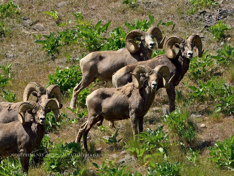 SBHRM-2015.5.17#080. Rocky Mountain Bighorn rams. Montana.