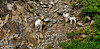 SD-2010.6.2#076.-Sheep, Dall. Ewe & Lambs. Turnagain Arm, Chugach Mountains Alaska.