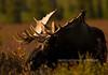 177-2008.8.23#137. An Alaska bull moose in evening light. Eleven mile area, Denali Park Alaska.