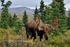 M-2016.8.23#260.3. A good looking bull moose in velvet, Denali Park Alaska.