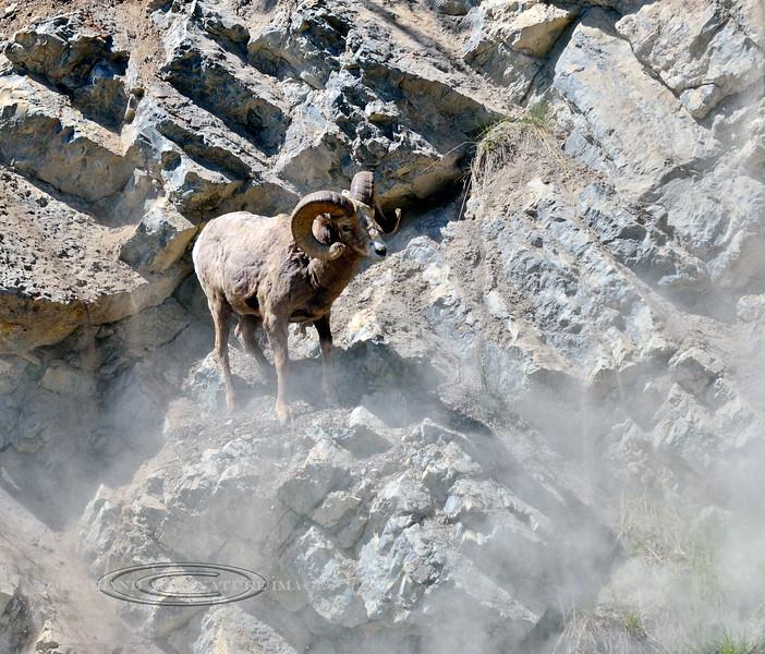 SBHRM-2015.5.19#1045.3. Boss ram. Banff Nat. Park. Alberta Canada.