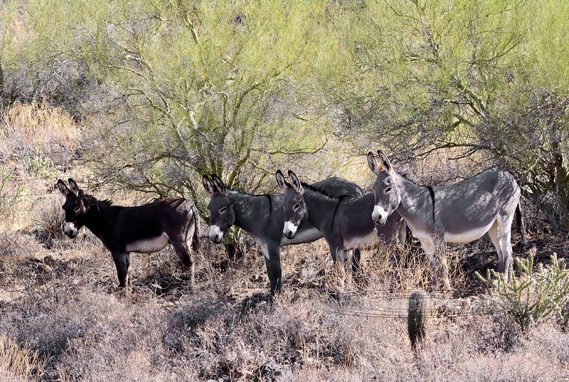 WB-2017.11.22#494. Wild Burro's in the shade of some Palo Verde. Maricopa County, Arizona.