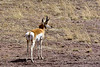 APS-2018.3.21#1262. Sonoran Pronghorn. Sonoita Arizona.