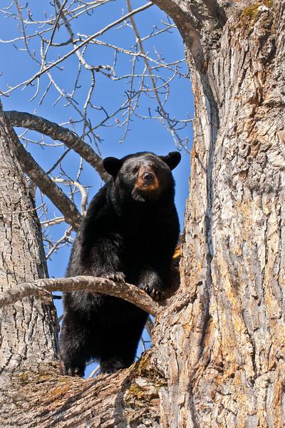 BB-2011.4.12#111. Black Bear. Campbell Creek, Anchorage, Alaska.