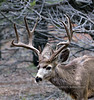 DM-2020.3.12#5294.1. A real good Mule deer buck in the Coconino forest of Arizona. Photo by Guy J.