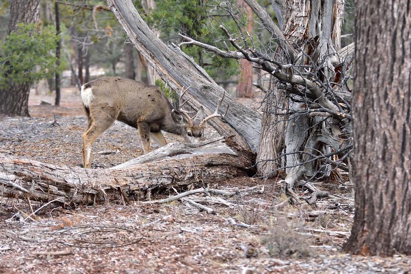 DM-2018.1.16#231. Mule Deer. Kaibab Forest Arizona.