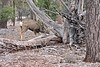 DM-2018.1.16#231. Mule Deer. Kaibab Forest Arizona.