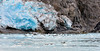 MMHS-2016.8.4#1037. Harbor Seals laying up on the calved ice from Northwest Glacier. Kenai Fjords Alaska.