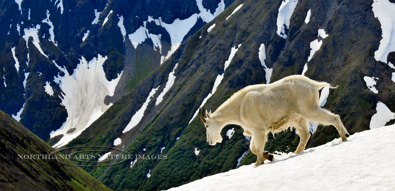 39-2012.7.18#098. A Mountain Goat billy crossing a snow field covering a hanging glacier. Chugach Mountains Alaska.