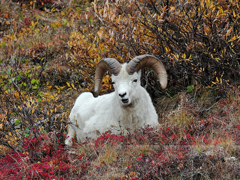 SD-2009.9.16#036- I followed and observed this Dall ram feeding on blueberries that were down in these willows and alders. Denali Park Alaska.