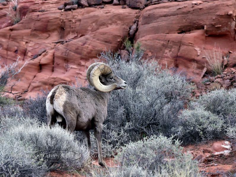 SBHD-2019.1.19#2112. A Desert Bighorn ram.