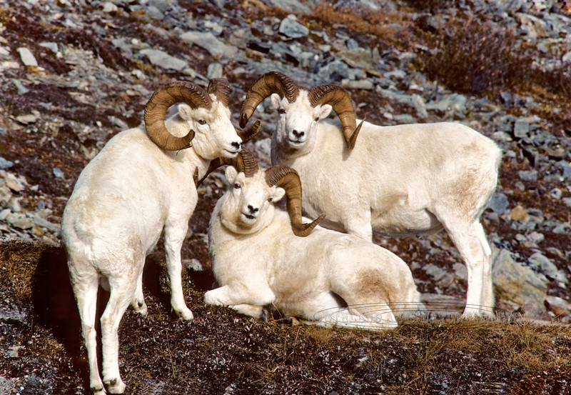 "Dall Sheep rams. ""The Trio"" scanned from old film stock,has been a popular image for over 30 years. Denali National Park, Alaska. #9.59. 2x3 ratio format. Also available in a 1x2 ratio format in the sheep section of this gallery."