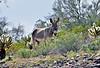 WB-2020.3.20#7561.5X. A Wild Burro near Lake pleasant Arizona.