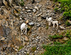 SD-2010.6.2#076-Sheep, Dall. Ewe & Lambs. Turnagain Arm, Chugach mountains Alaska.