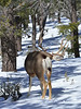 """DM-2019.2.27#258. A Mule deer buck in the Kaibab Forest giving me the """"one eye"""" Arizona."""