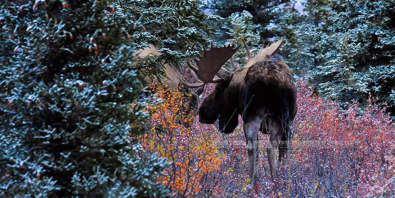 M-2013.9.18#017. Alaska bull moose tending a cow close to estrus. Savage Canyon, Denali Park Alaska.