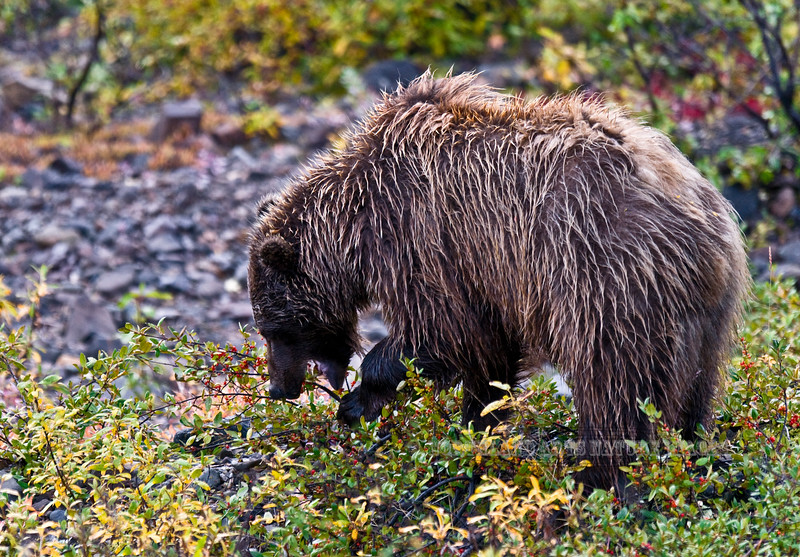 Interior Grizzly bear. Soapberries are an important food source in august. Denali National Park, Alaska. #830.065. 2x3 ratio format.