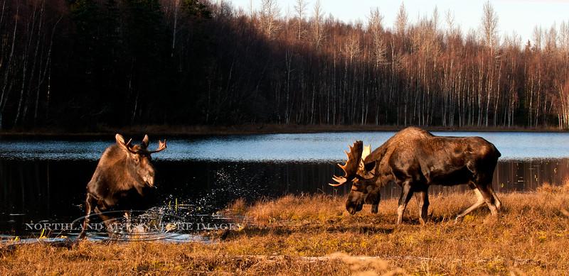 M-2011.10.18#180. Alaska Moose. Little Campbell Lake, Kincaid Park, Anchorage Alaska.