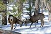 DM-2019.2.27#285. Mule Deer. Kaibab Forest Arizona.