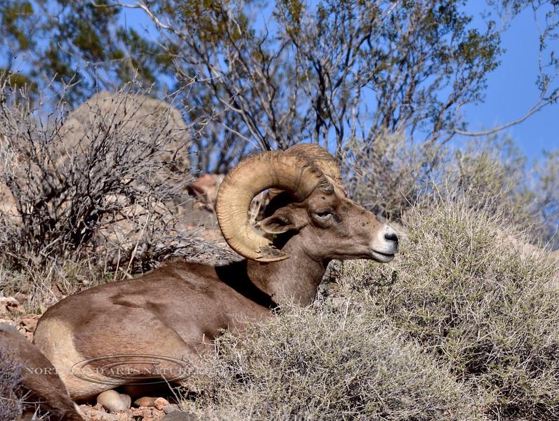 SBHD-2019.1.18#1485. A Desert Bighorn ram.