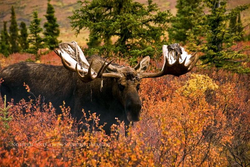 A wide antlered Alaska bull moose, probably over 70 inches. Denali National Park, Alaska. #95.072. 2x3 ratio format.