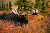 A wide antlered Alaska bull moose, probably over 70 inches. Denali National Park, Alaska. #95.072. 2x3 ratio format.