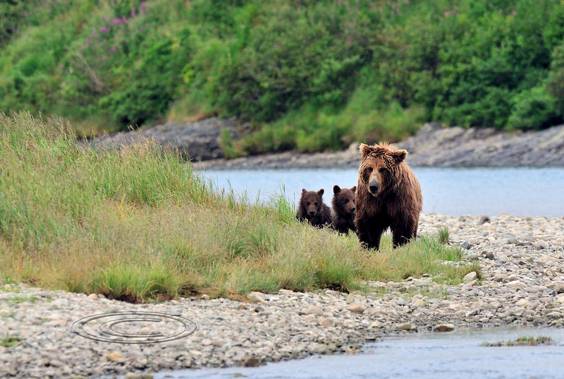 BBR-2010.8.12#356. A Brown Bear sow and cubs are working a piece of river less frequented by larger boar bears. Down stream from Enders Island Mcneil river, Alaska Peninsula Alaska.