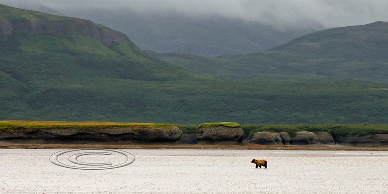 BBR-2010.8.13#057. A small Brown bear is cruising for salmon at low tide. Mouth of the McNeil river, Alaska.