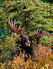 Alaska Moose. In the process of stripping the velvet from his antlers.Denali Nat.Park,Alaska. #831.052.
