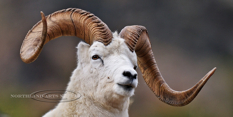 SD-2008.9.5#070-A Dall ram posing  and showing off his horns for me. Denali Park Alaska.