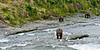 BBR-2010.8.12#130.3X. The largest of the two most dominant coastal Brown Bears that are fishing at McNeil Falls this year leads a group headed for their fishing holes. Early mourning at the McNeil River Falls, Alaska Peninsula Alaska.