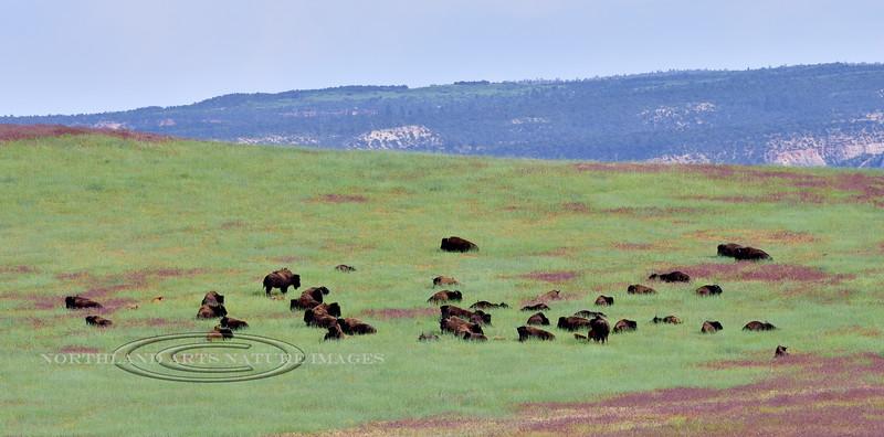 BP-2019.6.17#006. A mixed group of Plains Bison. Near Mount Carmel Junction, Utah.