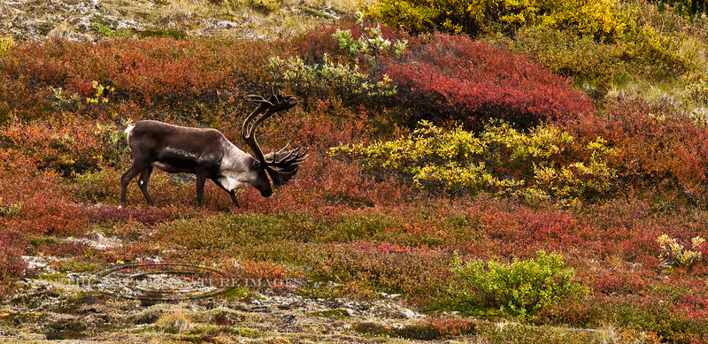 Barren Ground Caribou. Denali Nat.Park,Alaska. #826.297. 1x2 ratio format.