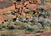 SBHD-2021.2.21#5607.2. A group of Desert Bighorn rams are up and feeding while constantly on the move.