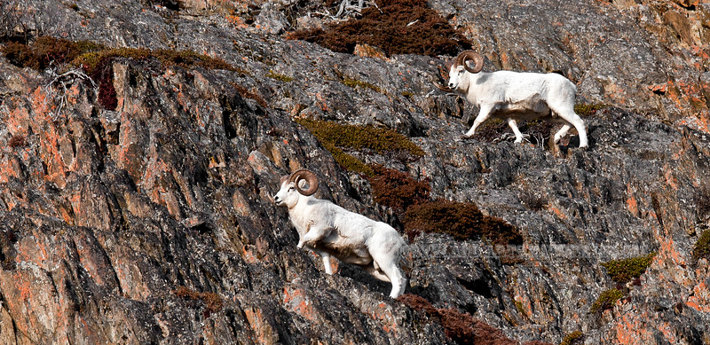 139-2010.11.18#058. Two mature full curl Dall rams negotiating cliffs in the Chugach mountains, Alaska.