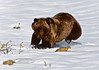 "19-Grizzly bear catching Ground squirrels. I had the pleasure this day of spending time with Mishio Hoshino,who was shooting along side me. In his book titled ""GRIZZLY"" are almost the identical images like mine from this series. These were shot in the ""old days"",when my equipment was all manual exposure & focus. Alaska Range,Alaska. #9.100."