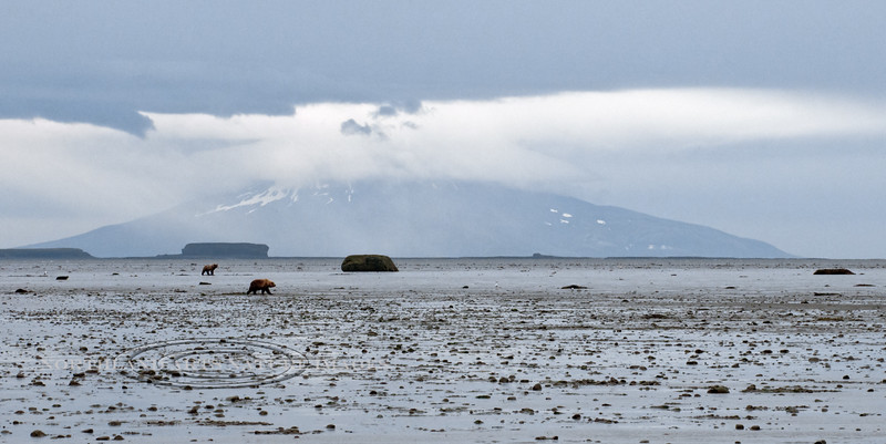 A pair of Brown bears dig for clams in McNeil Cove during a very low tide. Mount Augustine Volcano is in the background. Cook Inlet, Alaska. #813.027. 1x2 ratio format.