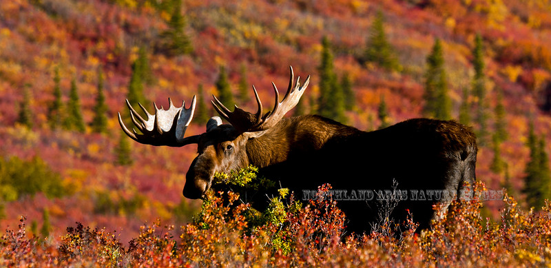401-209.9.5#204. A nice Alaska bull moose in spectacular fall color. Savage country, Denali Park Alaska. Another format of this same image is viewable in the moose section of this gallery.