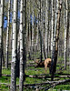 E-2015.5.19#1174.3. A Rocky Mountain Elk grazing a burn area near Mount Margaret Alberta.