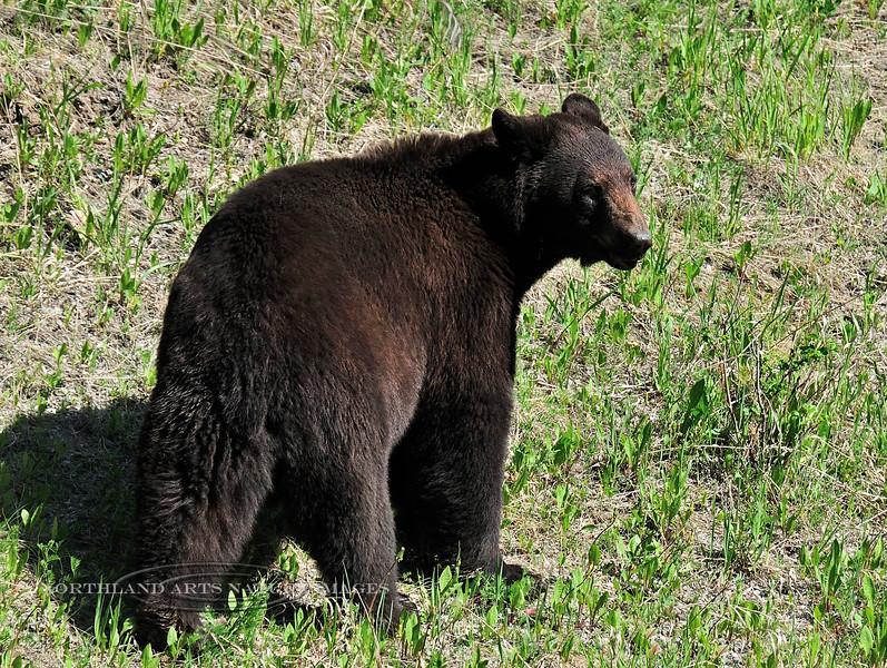 BB-2015.5.7#88. A big cinnamon color phase Black Bear. North of Radium, BC Canada. Photo by Guy J.
