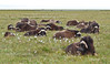 MO-2007.8.5#1098. A group of muskox laying up on the tundra in a bunch of Alaska Cotton plants. On the Coastal Plain of the North Slope Alaska.