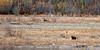 BG-2008.9.21#004. Grizzly bear searching for the last berries of the season. Teklanika river, Denali Park Alaska.