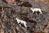 SD-2011.10.18#058-A pair of nice full curl Dall Sheep rams. Chugach Mountains, Alaska.