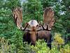 M-2016.8.23#186.4. Bull Moose Denali Park Alaska.