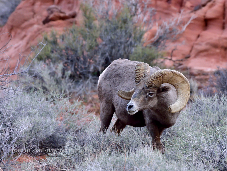 SBHD-2019.1.19#2105. A Desert Bighorn. Dank early mourning light, long before the sun came up.