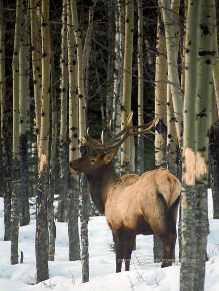 Elk, Rocky Mountains. #854.61. 2x3 ratio format.
