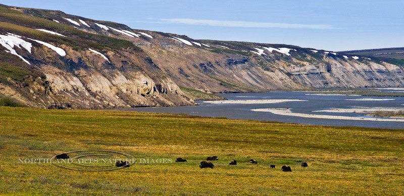 113-2009.6.12#106. A family group of Muskox along the Sagavanirktuk River, North Slope, Alaska. A 2x3 ratio format of this image is viewable in the Muskox section of this gallery.