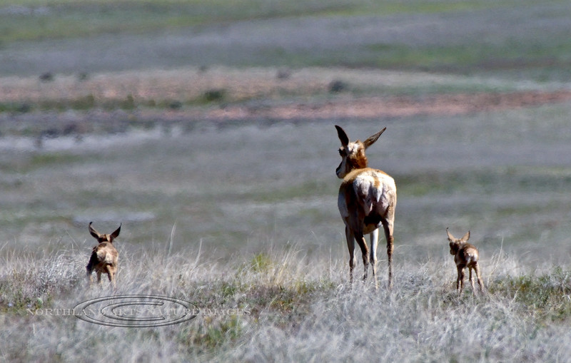 AP-2020.4.23#0078.3. A Pronghorn Antelope doe with two fawns. The larger one on the left looks several days older and may not be her's. Yavapai County Arizona.